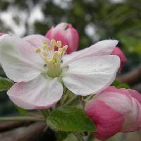 リンゴ属 春 白ピンクの花