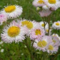 ムカシヨモギ属 春 白ピンク