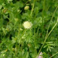 マメカミツレ属 春 極小さい白い花