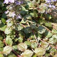 キランソウ属 葉は対生し匍匐茎で広がる 広楕円形鋸歯対生