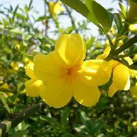 ソケイ属 春 黄色 5裂または6裂