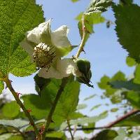 キイチゴ属 春 白い花