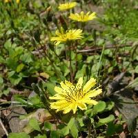 ニガナ属 春 黄色