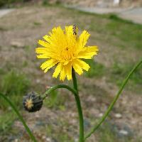 エゾコウゾリナ属 春 黄色
