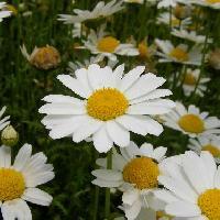 レウカンセマム属 春 白