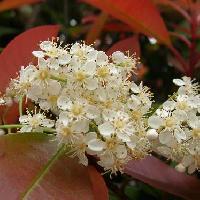 カナメモチ属 春 小さな白い花