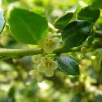 モチノキ属 春 白黄緑