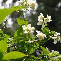 バイカウツギ属 春 白い4弁花