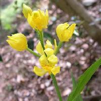 キンラン属 春 黄