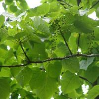 イイギリ属 大きなハート型の葉