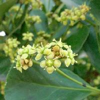 ニシキギ属 初夏 極小さい黄緑色の花