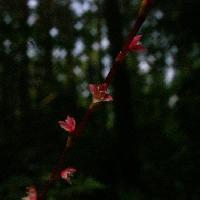 イヌタデ属 夏~秋 極小さな赤白の花