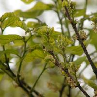エノキ属 晩春 極小さな黄緑色の雄花新芽が出ると同時に開花