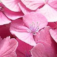 アジサイ属 初夏 赤紫、ピンク