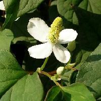 ドクダミ属 春に白い花