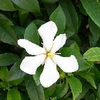 クチナシ属 初夏 白い花