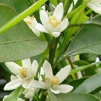 ミカン属 晩春 白い5弁花