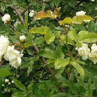 バラ属 春 八重咲き 白