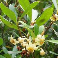 モッコク属 春~初夏 白い花