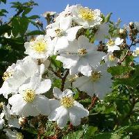 バラ属 春 白い5弁花