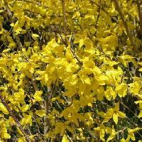 レンギョウ属 初春 鮮やかな黄色の花