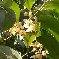 サカキ属 初夏 白い花