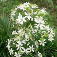 ネギ属 秋 小さな白い花