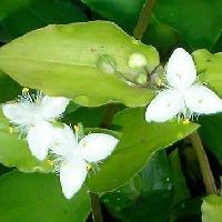 ムラサキツユクサ属 初夏 小さな白い3弁花
