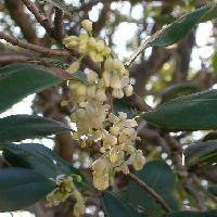 モクセイ属 初冬 小さな白い花