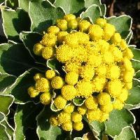 キク属 晩秋 黄色い花