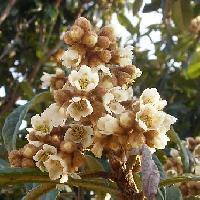 ビワ属 冬 白い花