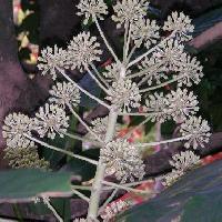 ヤツデ属 初冬 小さな白い花
