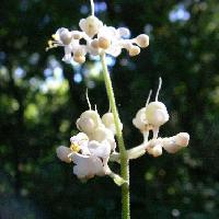 ヤブミョウガ属 夏~秋 白い花