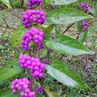 ムラサキシキブ属 秋 球形の小さな紫色の実を多数つける