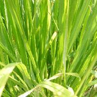 チカラシバ属 細長い 根元から多数生える