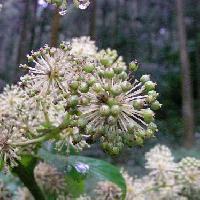 タラノキ属 晩夏~秋 球状の白い花序