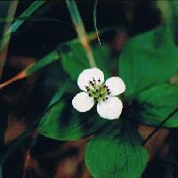 ゴゼンタチバナ属 夏 小さな白い4弁花