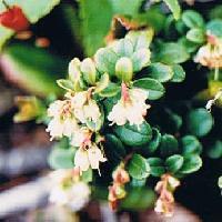 スノキ属 夏 極小さな白い花