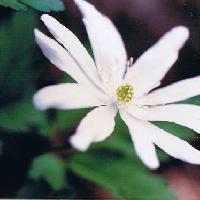 イチリンソウ属 春 白や淡い紫色の花