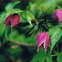 センニンソウ属 夏 赤紫色の花