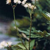 モミジカラマツ属 夏 白い花