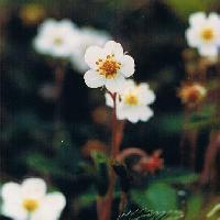 オランダイチゴ属 晩春~夏 白い花