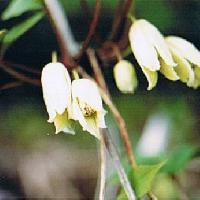 センニンソウ属 春 白い(クリーム色)花