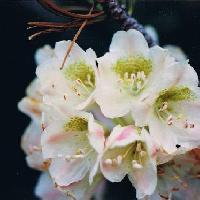 ツツジ属 夏 ややピンクを帯びた白い花