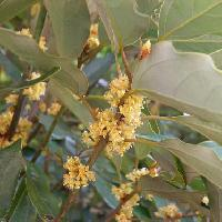 シロダモ属 冬 小さな黄緑色の花