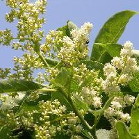 チシャノキ属 初夏 極小さな白い花
