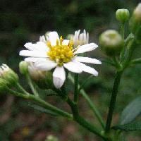 シオン属 晩夏~秋 白い花