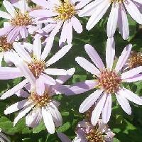 シオン属 秋 淡紫色の花