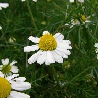 シカギク属 春 白い花