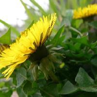 タンポポ属 春 黄色い花 総苞外弁が反り返る